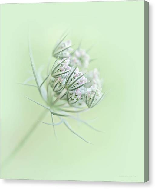 Queen Annes Lace Canvas Print - Queen Anne's Lace Flower Buds by Jennie Marie Schell