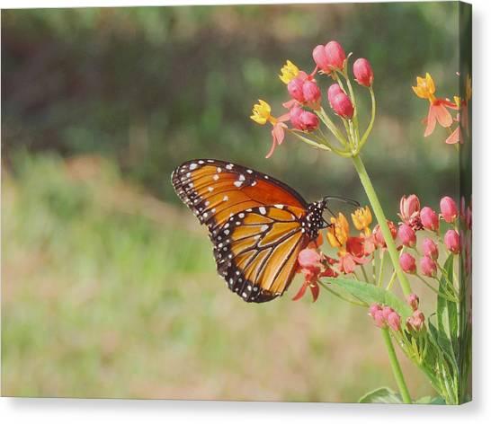 Queen Butterfly On Milkweed Canvas Print