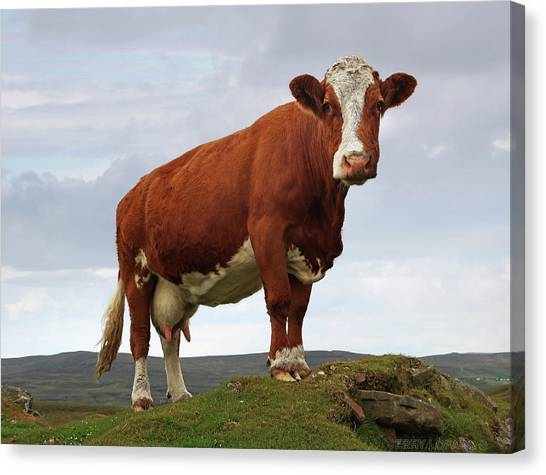 Livestock Canvas Print - Queen Of The Mountain by Jerry LoFaro