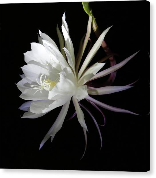 Queen Of The Night Canvas Print by Robin Street-Morris