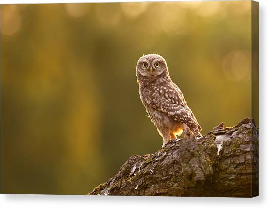 Owls Canvas Print - Qui, Moi? Little Owlet In Warm Light by Roeselien Raimond