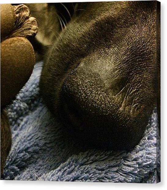 Weimaraners Canvas Print - Quinn. 2 Yrs 4 Days Old. Love Our by Mari Winter
