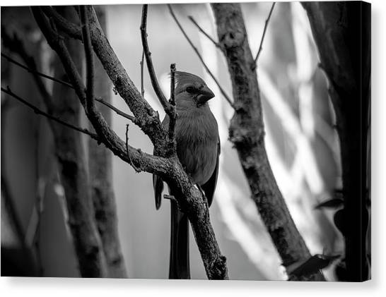 Quite Bird In The Tree Canvas Print