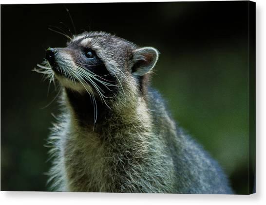Raccoon 1 Canvas Print