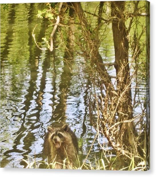 Raccoons Canvas Print - Raccoon Eating #raccoon #wildlife by Amber Fisher