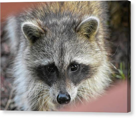 Raccoon's Gorgeous Face Canvas Print