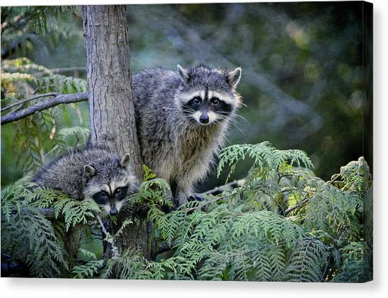 Raccoons In Stanley Park Canvas Print