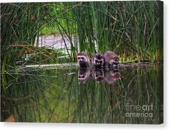 Canvas Print featuring the photograph Raccoons by Spencer Baugh