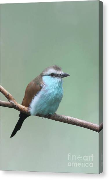 Racket-tailed Roller V2 Canvas Print