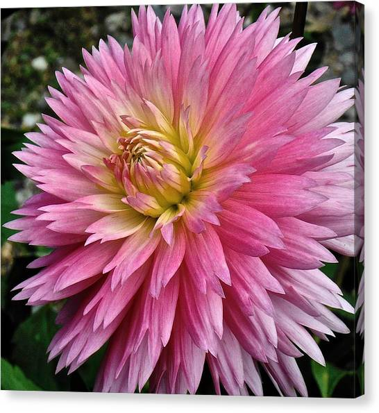 Radiant Dahlia  Canvas Print