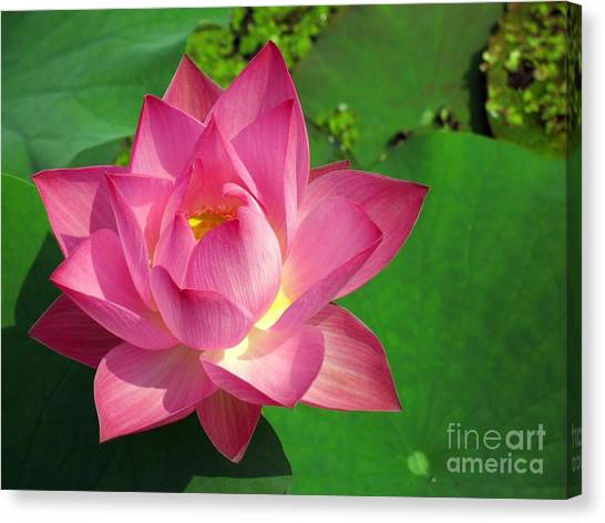 Radiant Water Lily Canvas Print