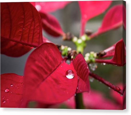 Rain Drop On A Poinsettia  Canvas Print