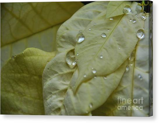 Rain Drops On A  White Poinsettia Canvas Print