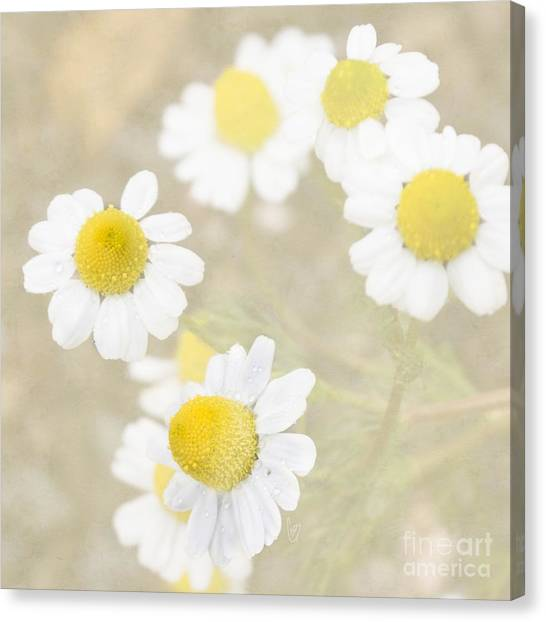 Rain-kissed Chamomile Canvas Print