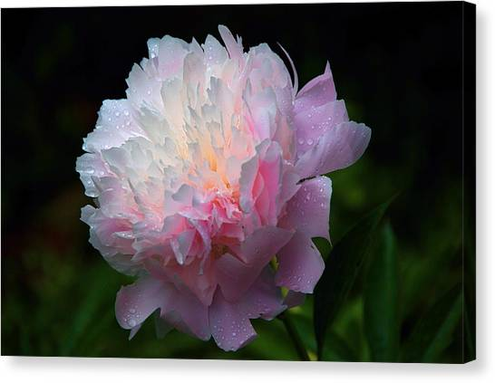 Rain-kissed Peony Canvas Print