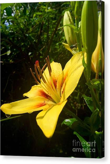 Rain Kissed Tiger Lily Canvas Print