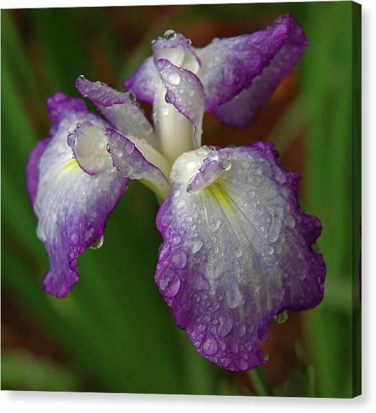 Rain-soaked Iris Canvas Print