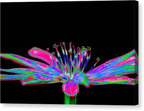 Rainbow Chicory Canvas Print