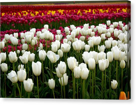 Canvas Print - Rainbow Of Tulips by Sonja Anderson