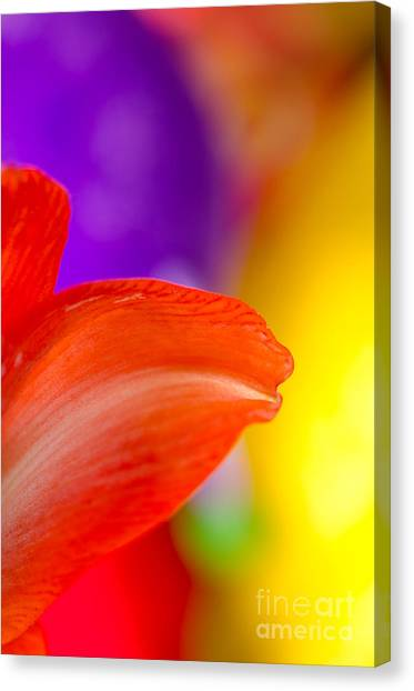 Andy Bloom Canvas Print - Rainbow Tip Red Amaryllis Petal Tip On A Rainbow Background by Andy Smy