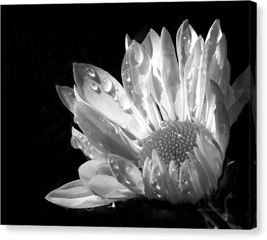 Raindrops On Daisy Black And White Canvas Print