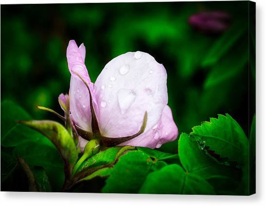 Rainy Day Rose Number 2 Canvas Print
