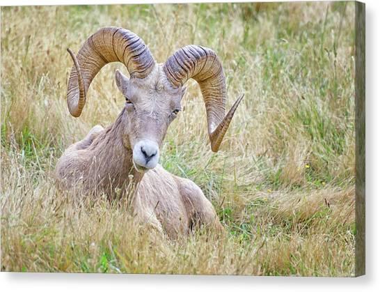 Ram In Field Canvas Print