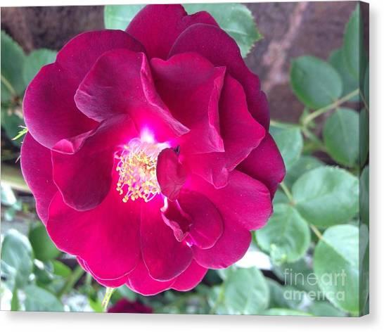 Rambling Rose Canvas Print