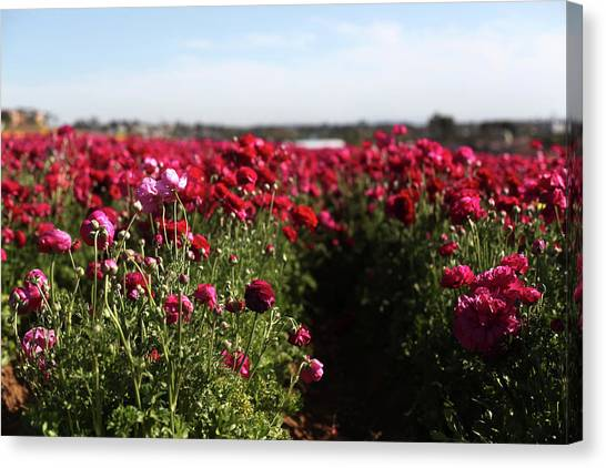 Ranunculus Field Canvas Print