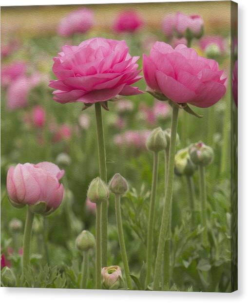 Ranunculus Flowers Canvas Print