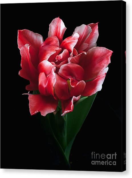 Rare Tulip Willemsoord  Canvas Print