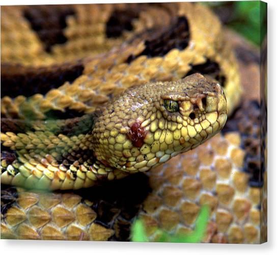 Timber Rattlesnakes Canvas Print - Rattlesnake 2 by Steven Sachs