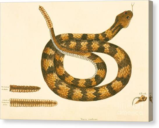 Poisonous Snakes Canvas Print - Rattlesnake by Mark Catesby