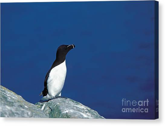 Razorbills Canvas Print - Razor-billed Auk Alca Torda by Gerard Lacz