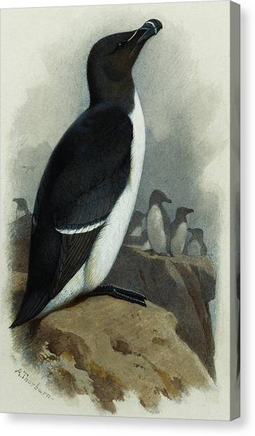 Razorbills Canvas Print - Razorbill by Archibald Thorburn