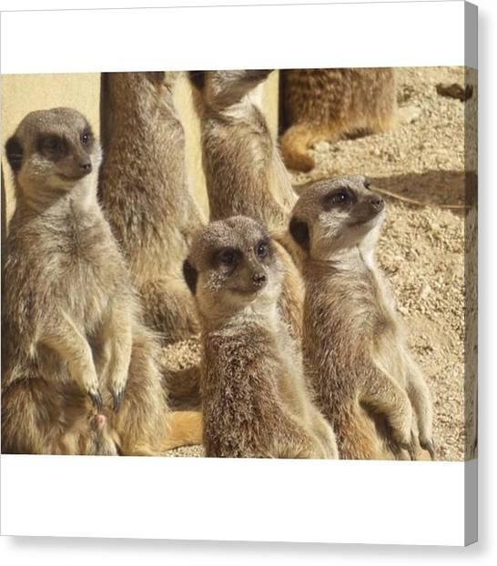 Meerkats Canvas Print - Meerkat Mania by Katie Greenwood