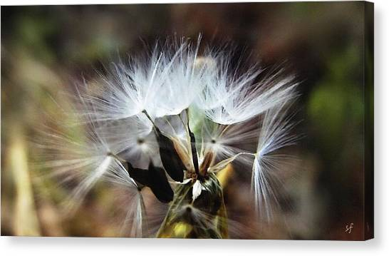 Ready To Fly... Salsify Seeds Canvas Print