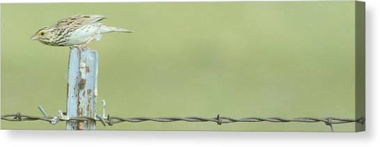 Meadowlarks Canvas Print - Ready..set..wait by Al  Swasey
