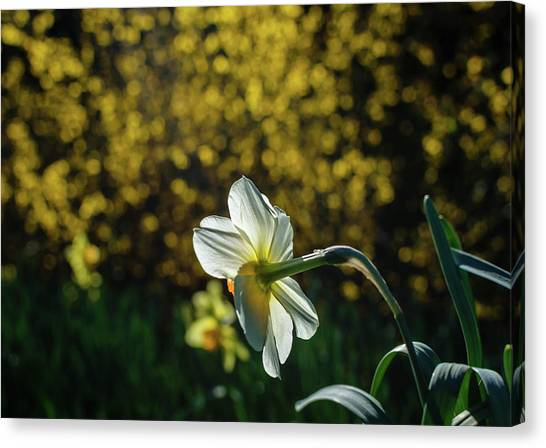 Rear View Daffodil Canvas Print