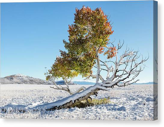 Reclining Tree With Snow Canvas Print