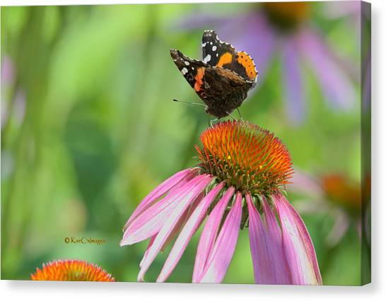 Red Admiral On Cone Flower Canvas Print