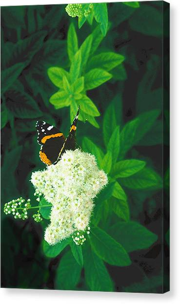 Red Admiral On Spirea Canvas Print