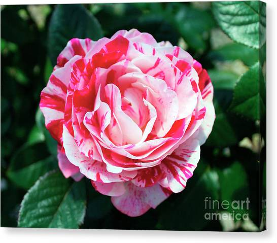 Red And Pink Floral Candy Rose Garden 490 Canvas Print