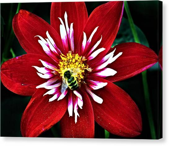 Red And White Flower With Bee Canvas Print