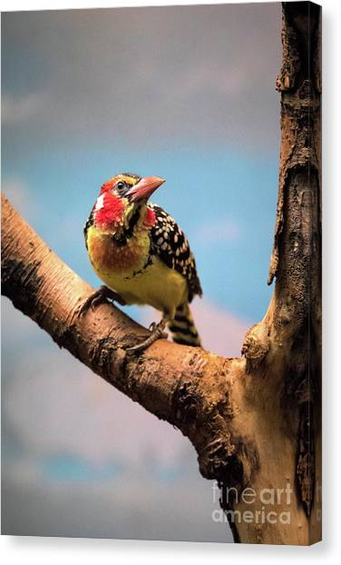 Red And Yellow Barbet Canvas Print
