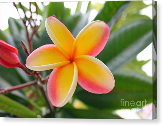 Red And Yellow Plumeria Canvas Print