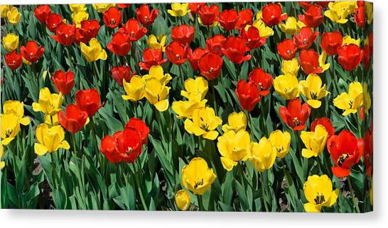 Red And Yellow Tulips  Naperville Illinois Canvas Print