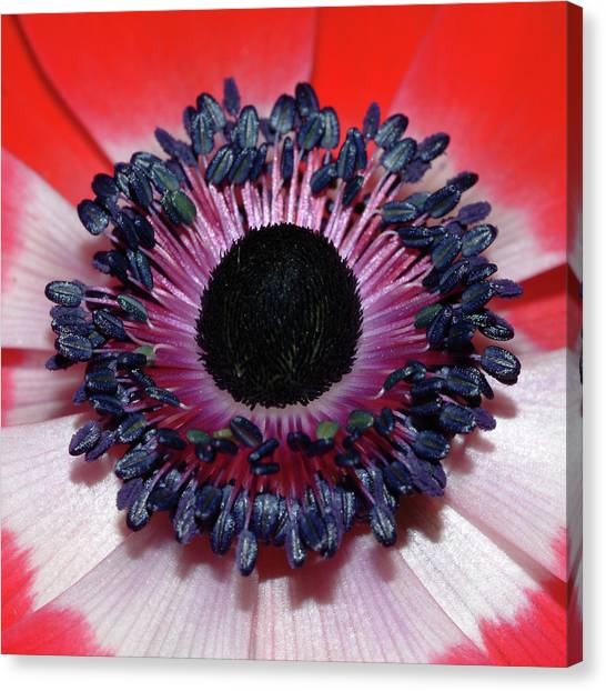 Red Anemone V1 Canvas Print