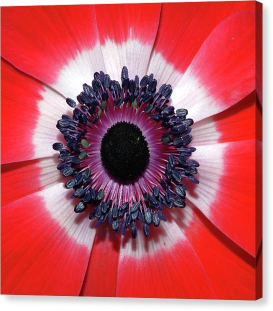 Red Anemone V2 Canvas Print
