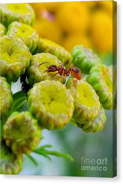 Red Ant Canvas Print